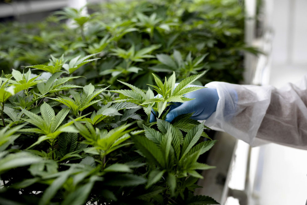 Pot Stock Short Sellers Seeing Green Again